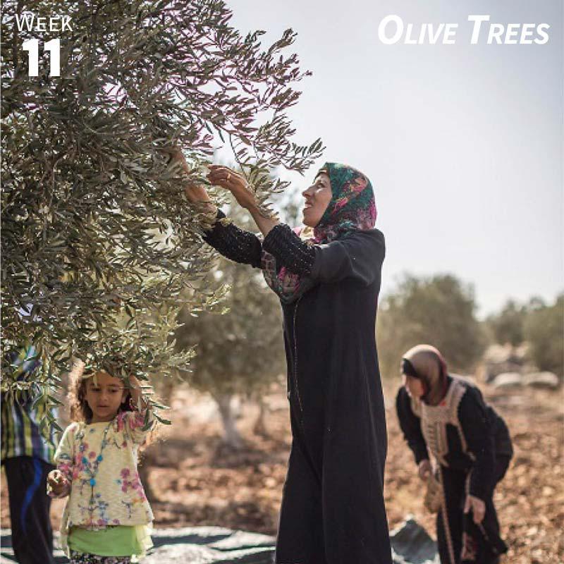 Week 11: Olive Trees